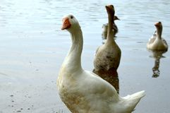 Goose in the water Royalty Free Stock Photos