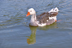 Goose on water Royalty Free Stock Photo