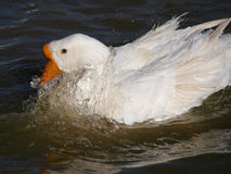 The goose in the water Royalty Free Stock Image