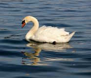 A goose. In the watern Royalty Free Stock Images