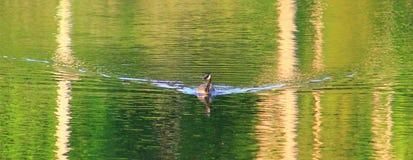 Goose Wave Stock Photos