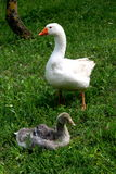 Goose. The white goose adult and puppy gray goose Royalty Free Stock Photography