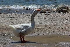 Goose. A white goose drinking water on the beach Royalty Free Stock Photo