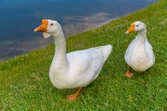 Goose white Stock Images