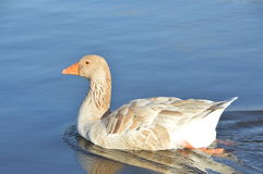 Duck swimming in the lake  Stock Photo