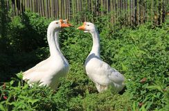 Goose. White goose to guard their homes in alert Royalty Free Stock Photo