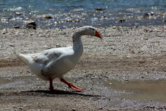 Goose. A white goose walking on the beach Stock Image