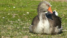 Goose who is falling asleep on the lawn in the Sun.