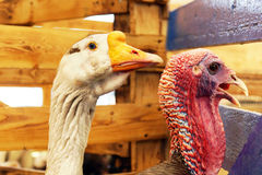 Goose and wild turkey portraits Royalty Free Stock Photography