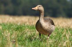 Goose in wildlife Stock Photos