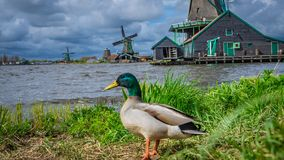 Goose With Wind Turbine Field stock photos