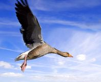 Goose on the wing Royalty Free Stock Images