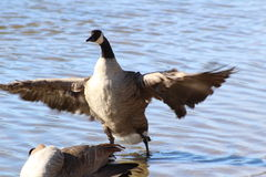 Goose Wings Spead Royalty Free Stock Image
