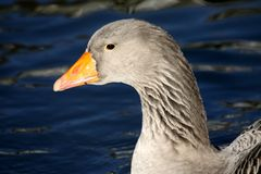 Goose in winter Royalty Free Stock Photo