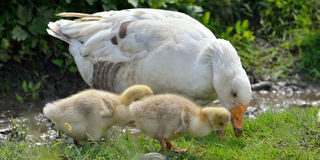 Goose With His Babies Stock Photos