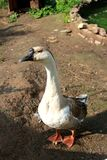 The goose on the yard. Closeup. The background out of focus. The evening in the village stock photography