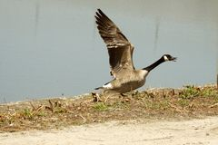 Goose yelling Royalty Free Stock Photo