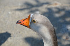 Goose in zoo. Goose in darica zoo istanbul Royalty Free Stock Photography