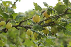 Gooseberries 1 Stock Images