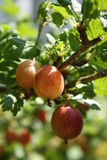 Gooseberries. Ripe gooseberries on a branch in summer Stock Photo