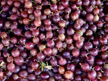 Gooseberries. Lots of purple gooseberries on a pile Royalty Free Stock Image