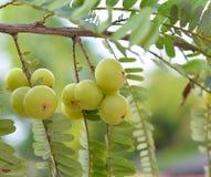 gooseberries images libres de droits