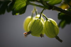 Gooseberries Stock Photography