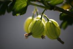 Gooseberries fotografia de stock