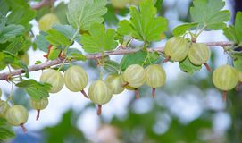 Gooseberries Stock Photo