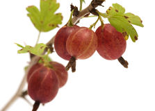 Gooseberries. Stock Photos