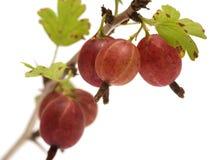 Gooseberries. fotos de stock
