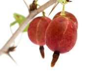 Gooseberries. Royalty Free Stock Photos