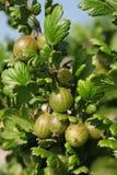 Gooseberries Stock Photos
