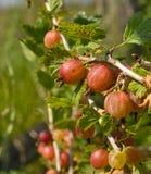 Gooseberries. Stock Image