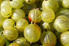 Gooseberries. Fresh picked gooseberries, unprepared, green flesh with red patches and the stem ends Royalty Free Stock Photos
