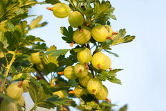 Free Gooseberries Stock Photos - 25324983