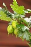 Gooseberries stock image