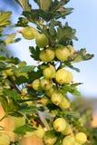 Gooseberries imagem de stock royalty free
