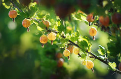 Gooseberries. Some ripening gooseberries on the branch stock image