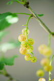 Gooseberries. Some ripening gooseberries on the branch royalty free stock photos