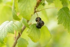 gooseberries photo libre de droits