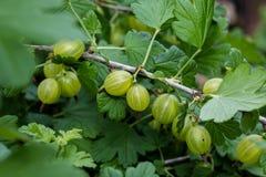 gooseberries Imagenes de archivo