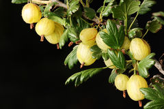 Gooseberries. Close-up of a branch with several gooseberry fruits Stock Images