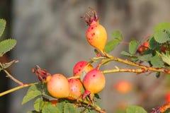 gooseberries Fotos de Stock Royalty Free