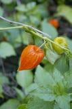 gooseberries photographie stock