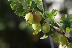 gooseberries photo stock