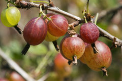 gooseberries photos stock