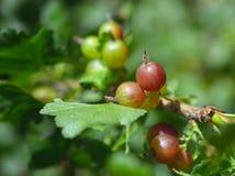 gooseberries photographie stock libre de droits