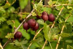 gooseberries Fotografía de archivo libre de regalías