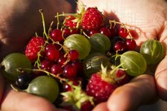 Gooseberries, black and red currant. raspberries - berries in the palms of women royalty free stock image